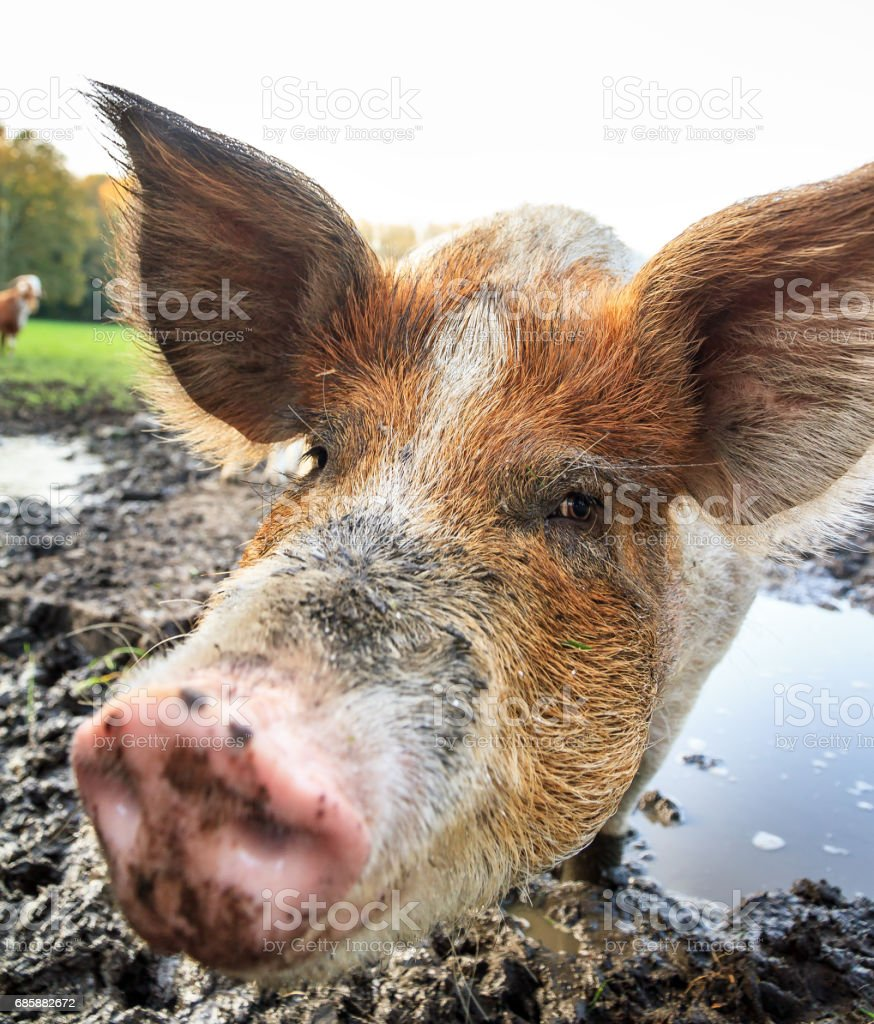 Close pig snout outdoors stock photo