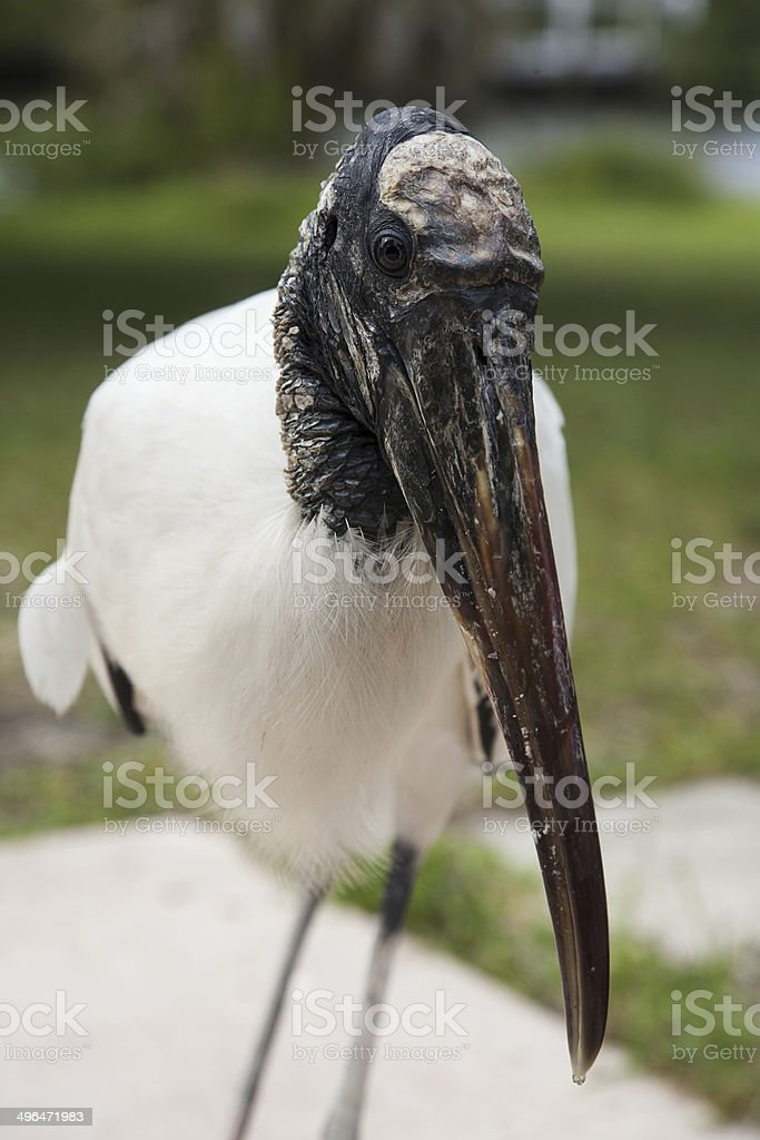 Close portrait of a Wood stork stock photo