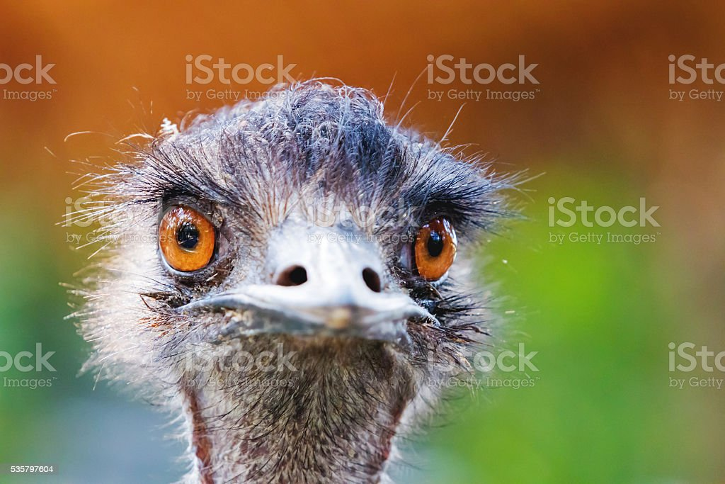 Close portrait of ostrich. Funny bird with small head. stock photo