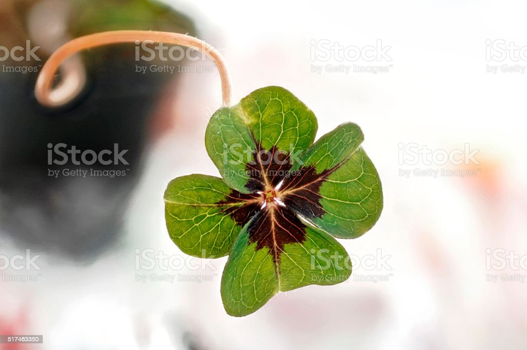 Close shamrock stock photo