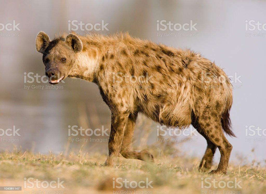 Close shot of a hyena standing stock photo
