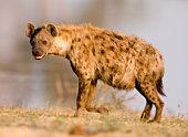 Close shot of a hyena standing