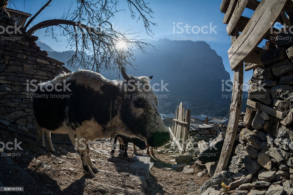 close shot of cow in upper pisang village stock photo