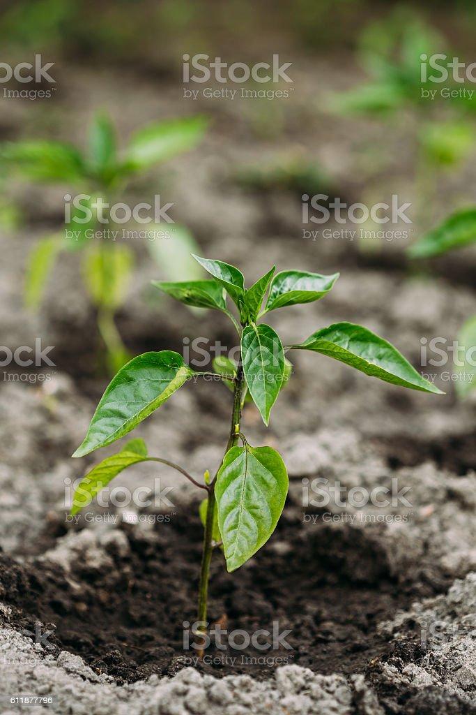 Close Small Green Vernal Seedling Of Capsicum, Pepper Or Capsicum stock photo