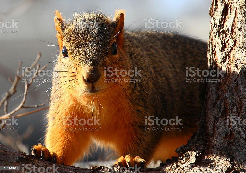 Close Squirrel Encounter stock photo