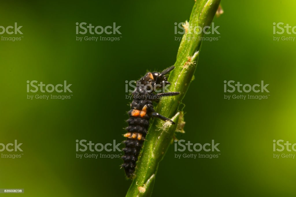 Close the image of a colorful soft ladybug. (Coccinellidae) on wooden floor stock photo