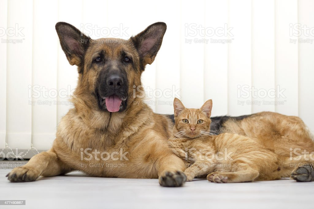 close up a beautiful  cat and dog together lying stock photo