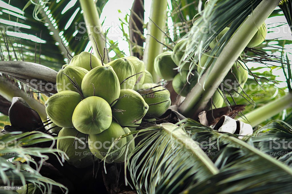 Close Up a Bunch of Green Coconut at Tree stock photo