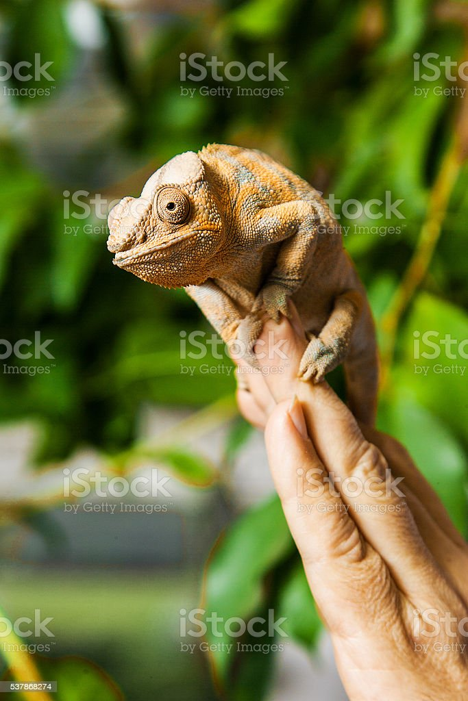 Close up a chameleon on fingers, green background stock photo