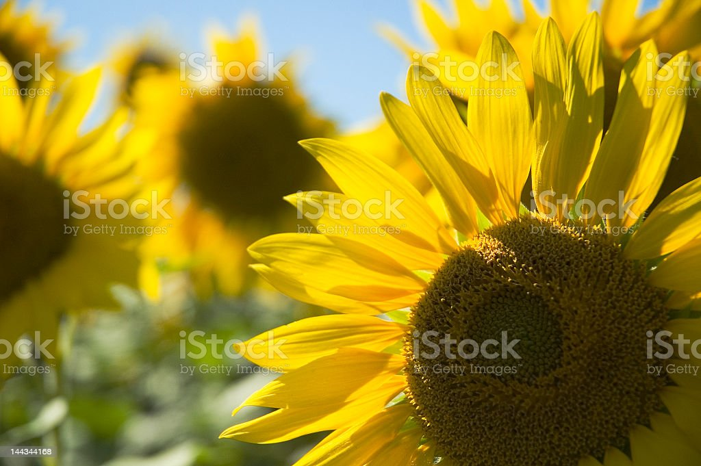 Close up Agricultural Sunflowers royalty-free stock photo