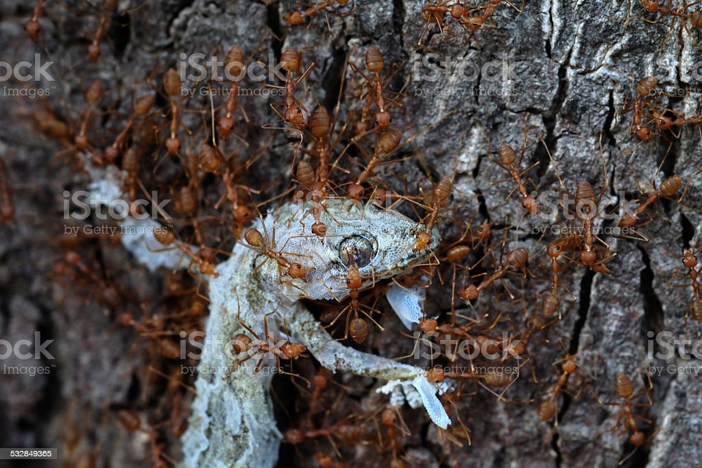 close up ants team work ,ants carry lizard to nest stock photo