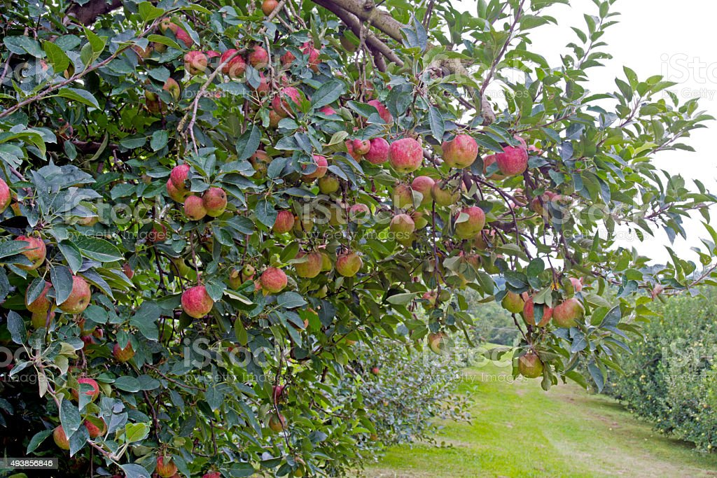 Close up apple trees laden with ripe apples. stock photo