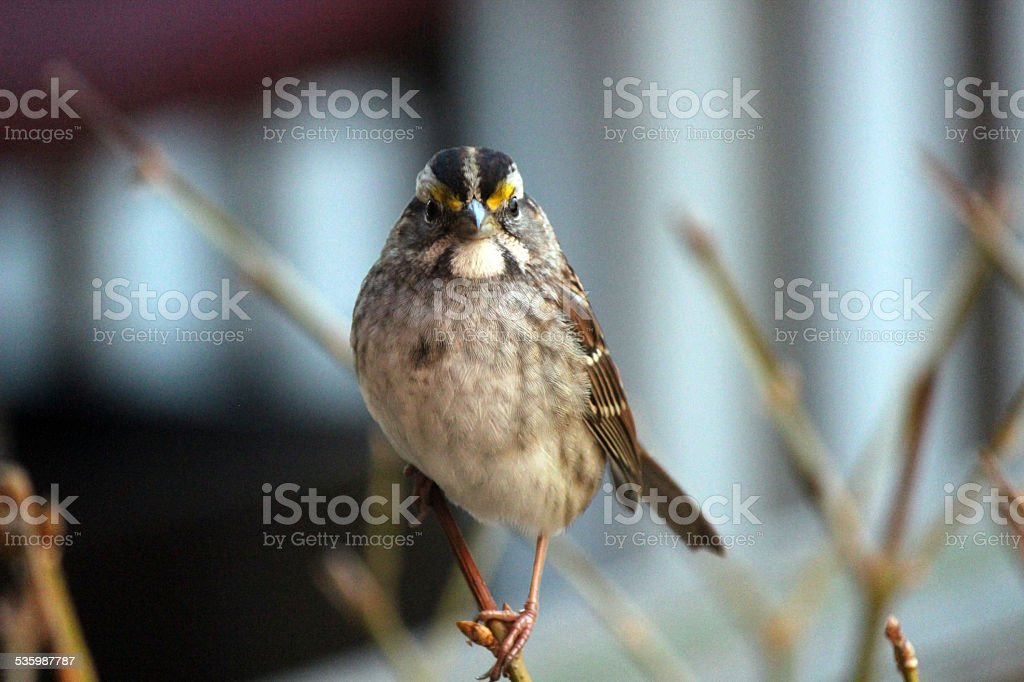 Close up as White-throated Sparrow Bird Faces Down Photographer stock photo
