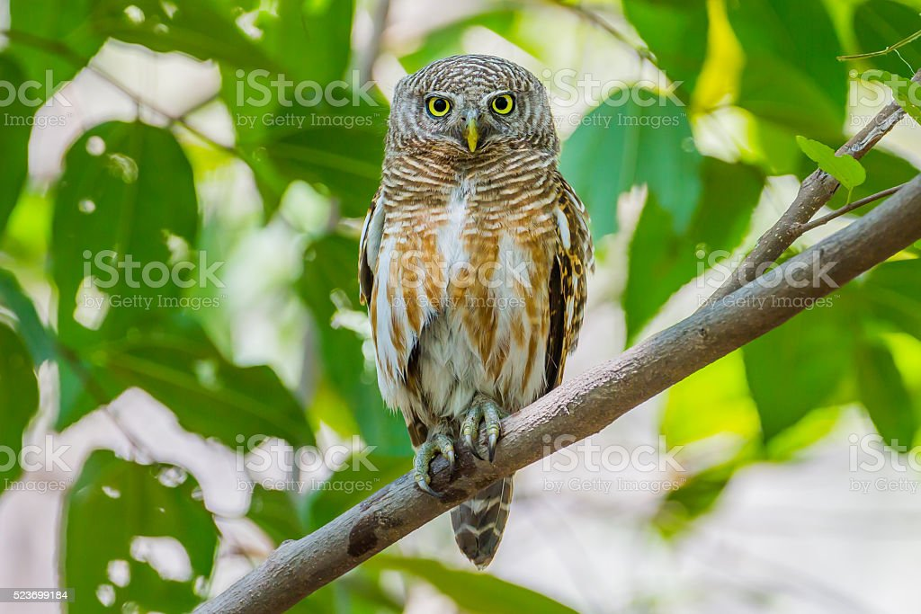 Close up Asian Barred Owlet stock photo