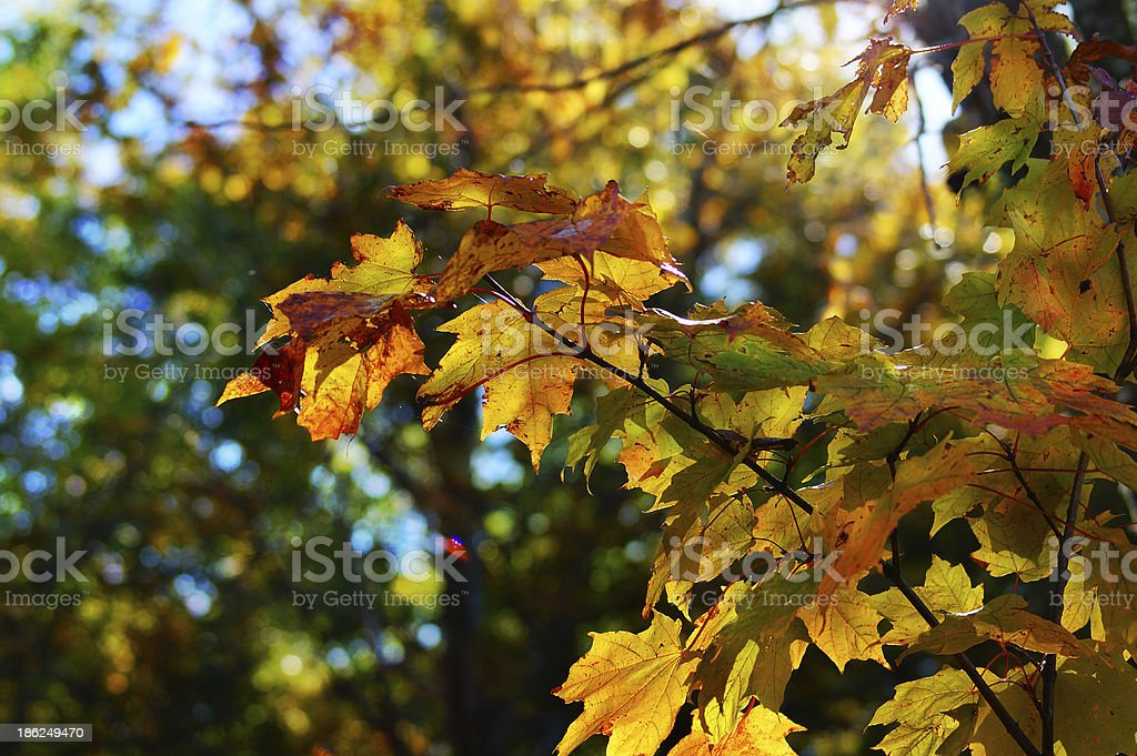 Close up autumn golden maple leaves, Canadian forest stock photo