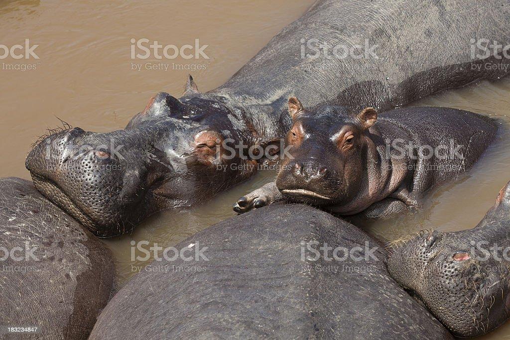 Close Up Baby Hippopotamus Among Adults in Mara River Kenya stock photo