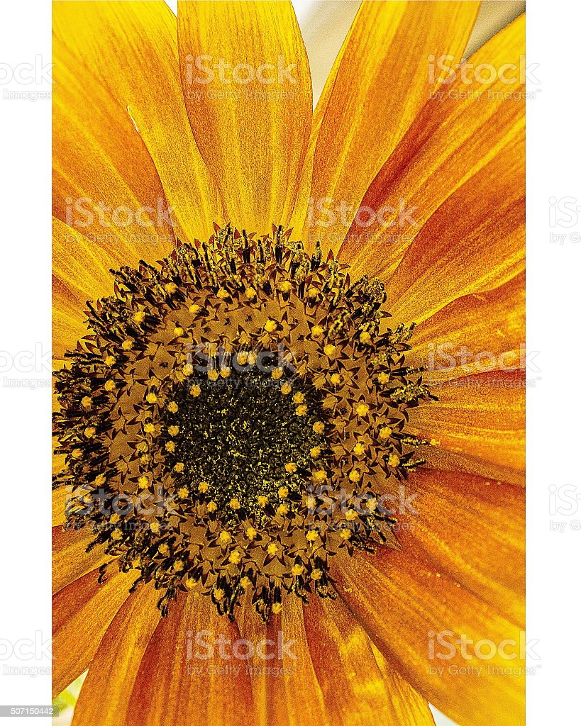 close up back lit late summer sun flower royalty-free stock photo