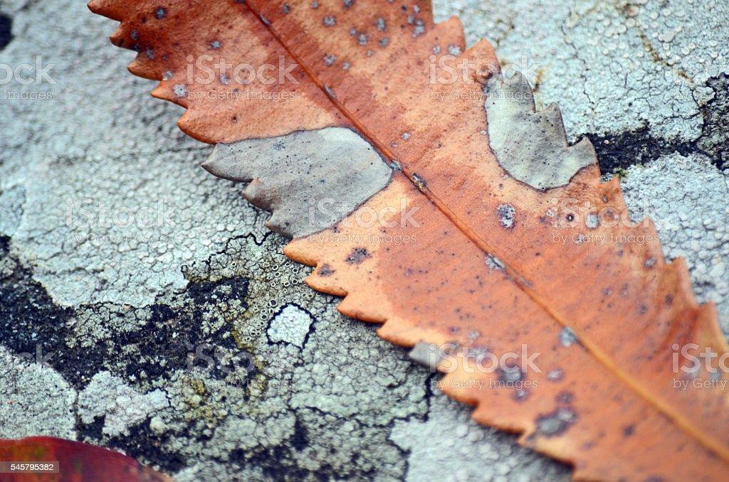 Close up Banksia leaf on lichen stock photo