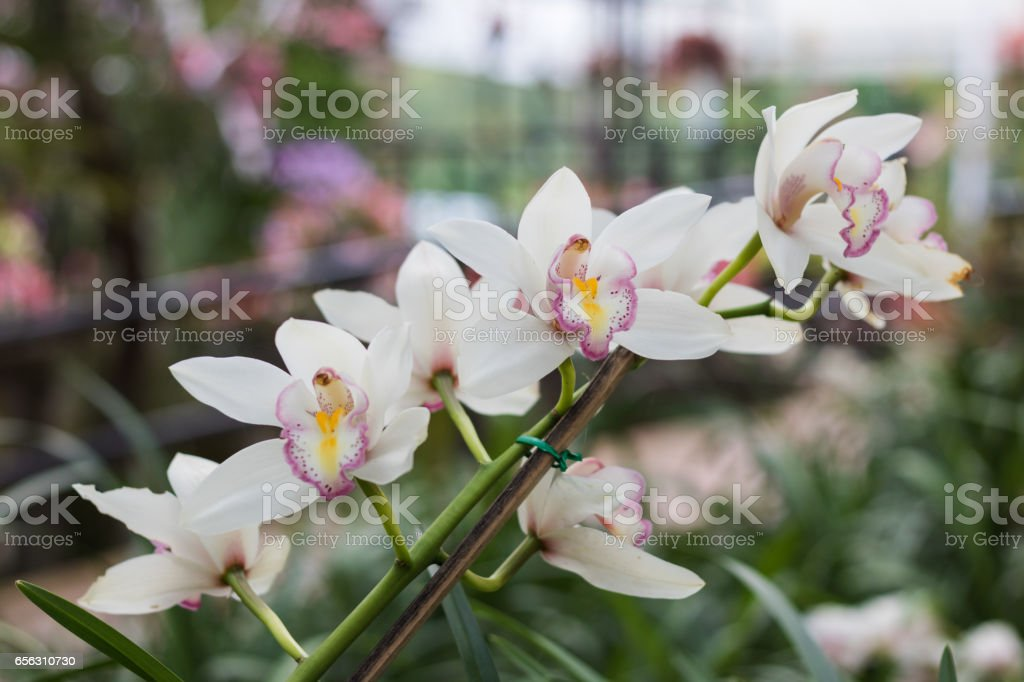 Close up beautiful white orchid in garden. stock photo