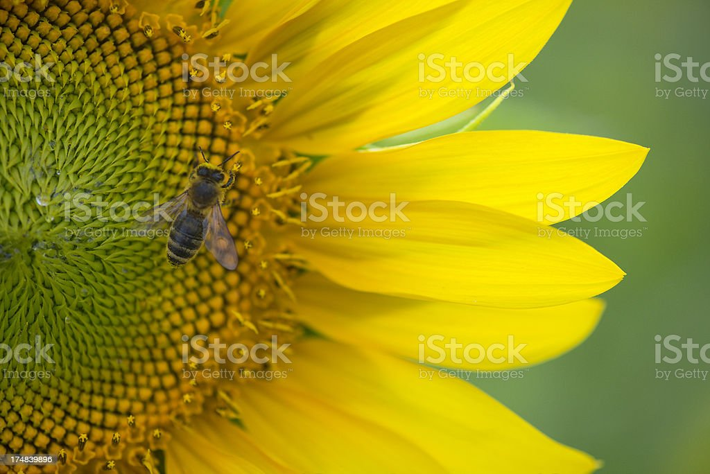 Close up bee on part of sunflower royalty-free stock photo