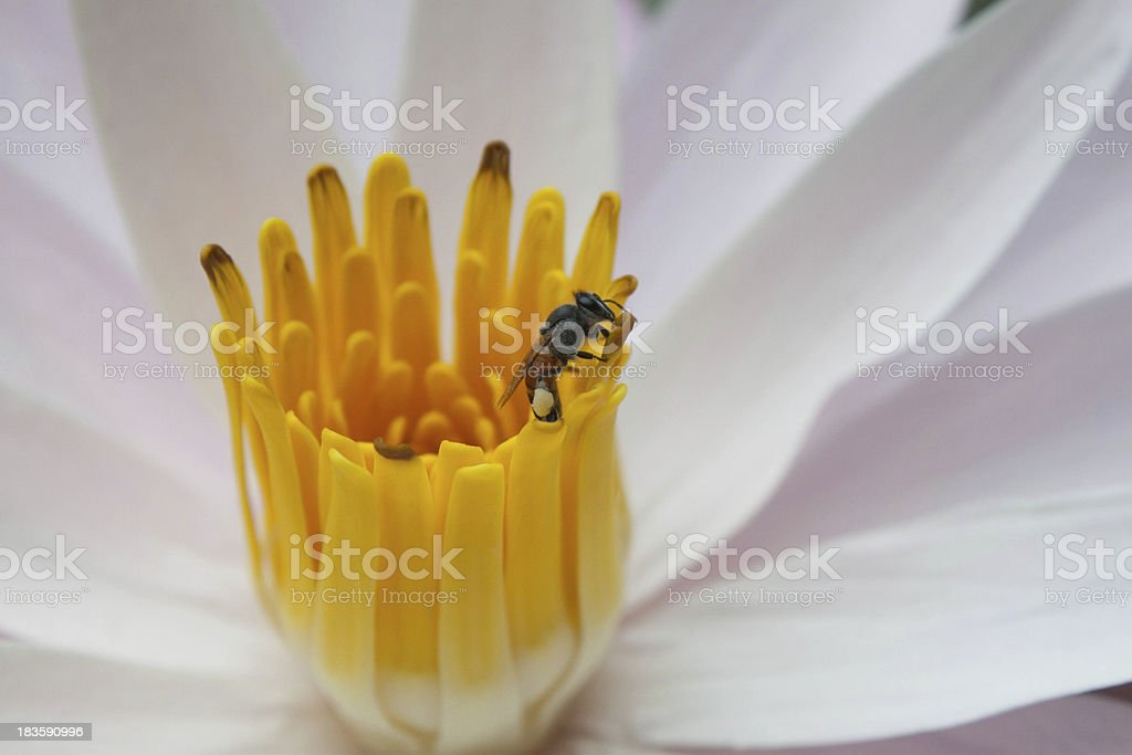 close up bee swarm pollen royalty-free stock photo