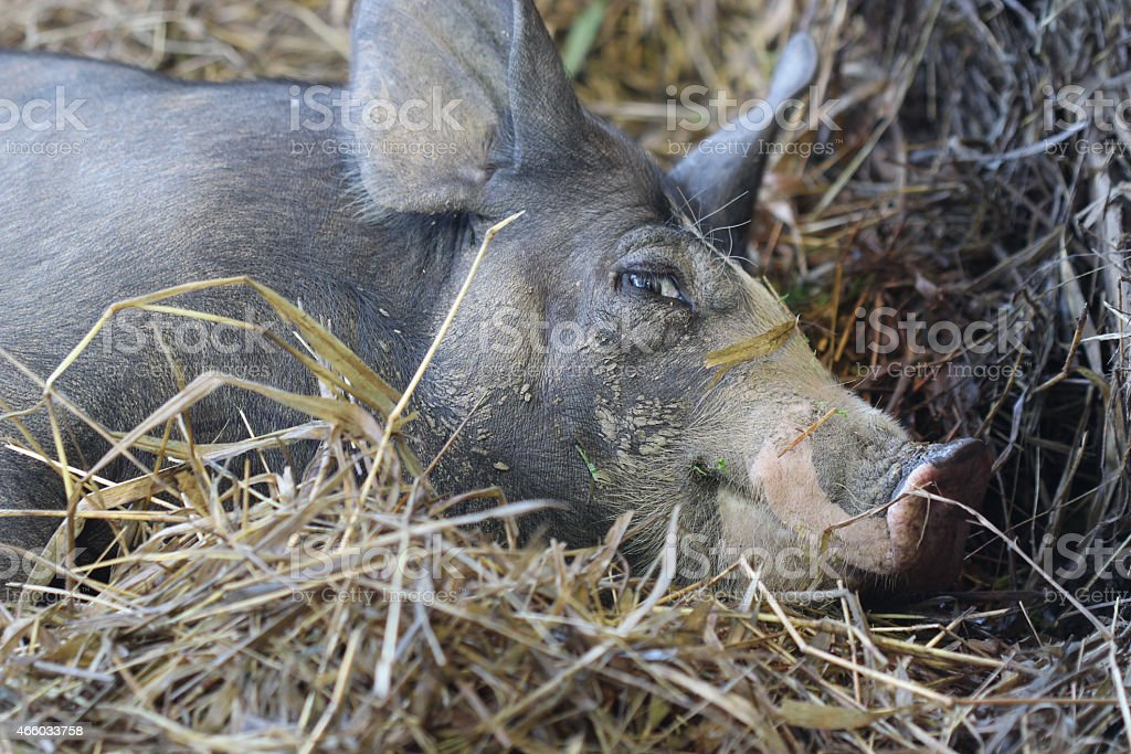 close up black pig in farm stock photo