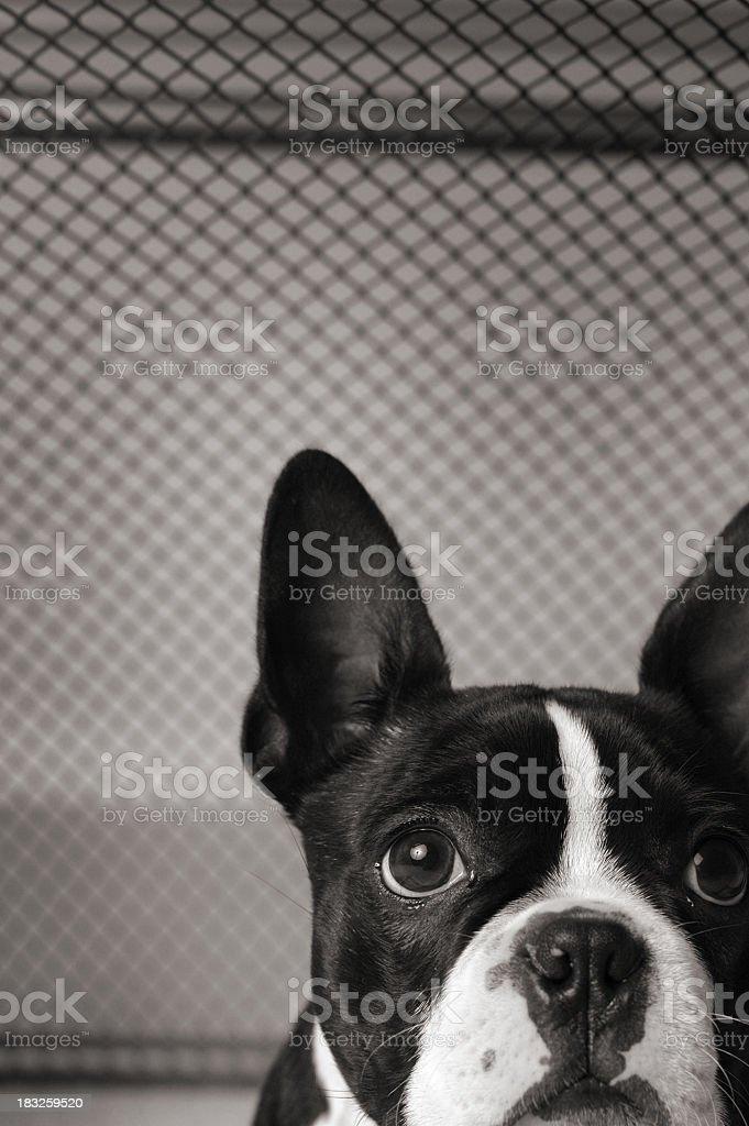 Close Up Black & White Image of Caged Boston Terrior royalty-free stock photo