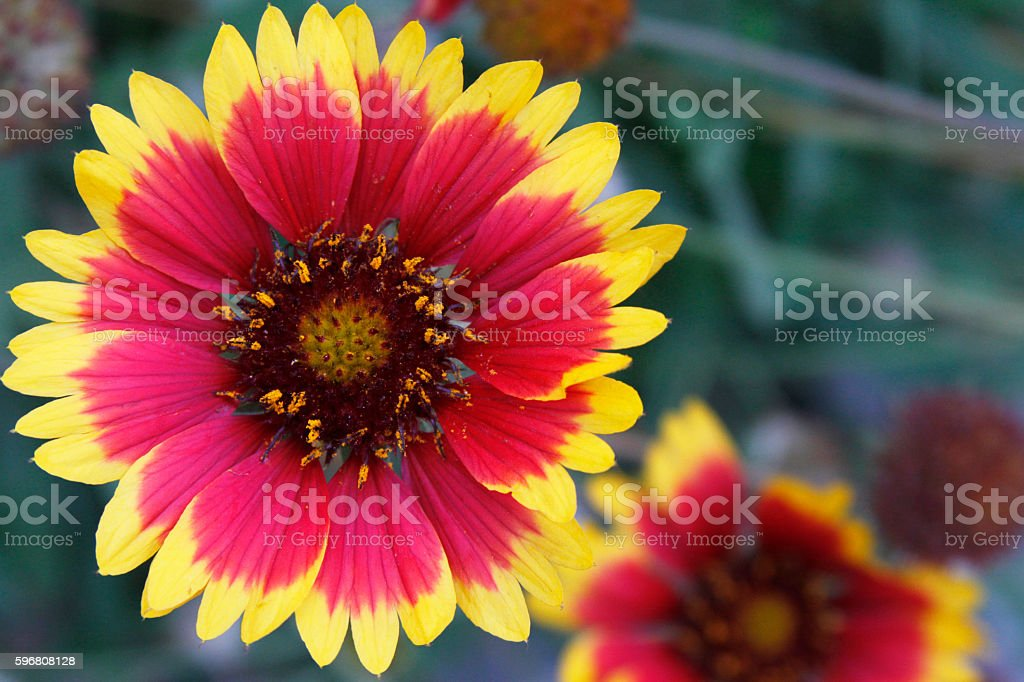 Close up Blanket Flower stock photo