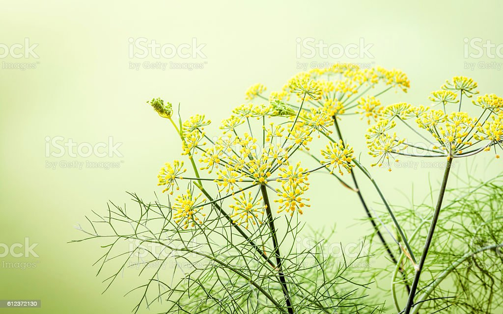 Close up blossoming branch of fennel on light green background.S stock photo