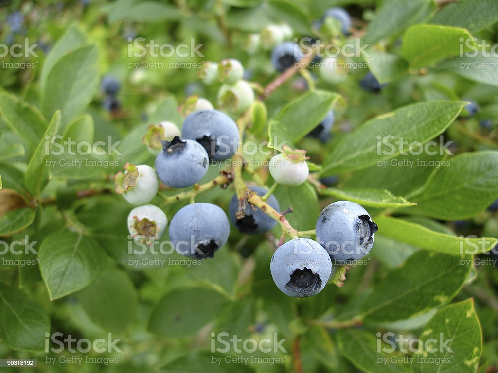 Close Up Blueberries royalty-free stock photo