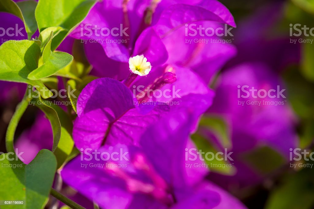 close up Bougaville flower stock photo