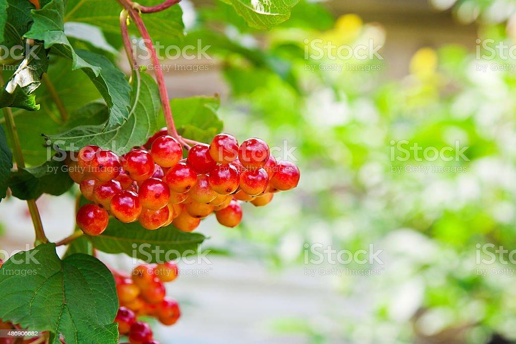 Primer plano de racimo de Bayas rojas de Guelder rose foto de stock libre de derechos