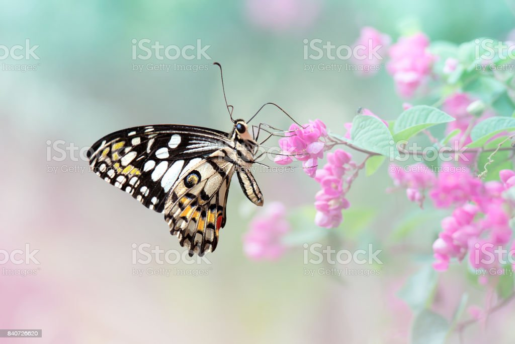 Close up butterfly on Chain of love flower stock photo