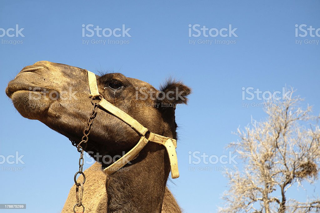 Close up camel head opposite blue sky royalty-free stock photo