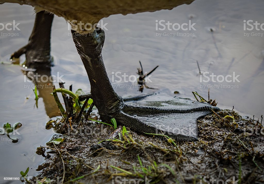 close up canadian goose webbed feet in mud stock photo