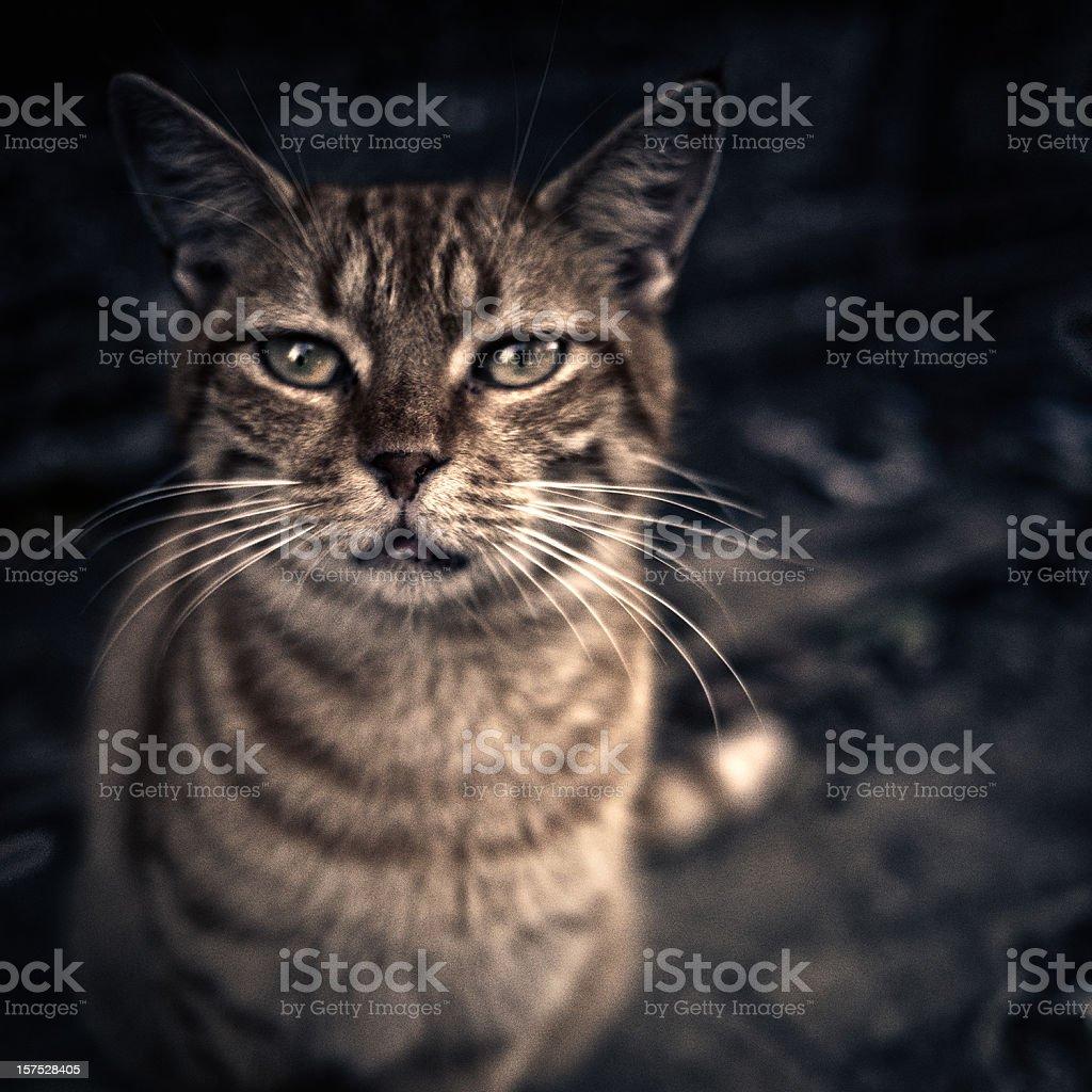 close up cat portrait royalty-free stock photo