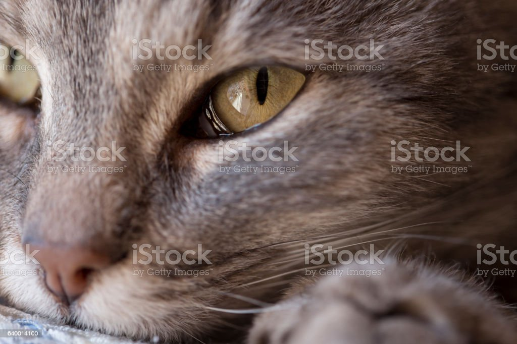 Close up cat purring stock photo