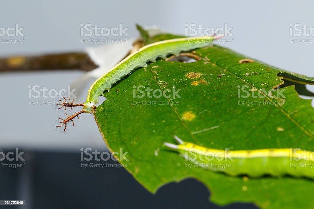 Close up caterpillar of siamese black prince butterfly stock photo