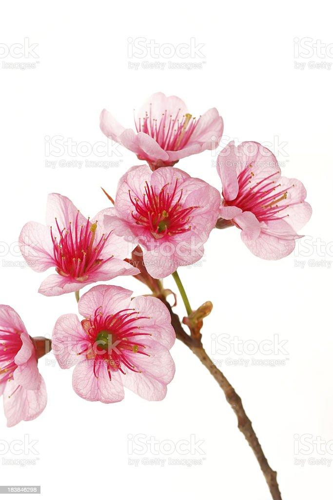 Close up cherry blossom royalty-free stock photo