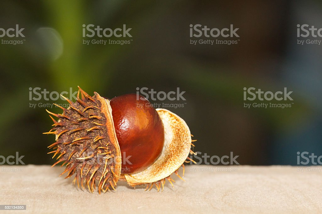 Close Up Chestnuts in brown nutshell isolated stock photo