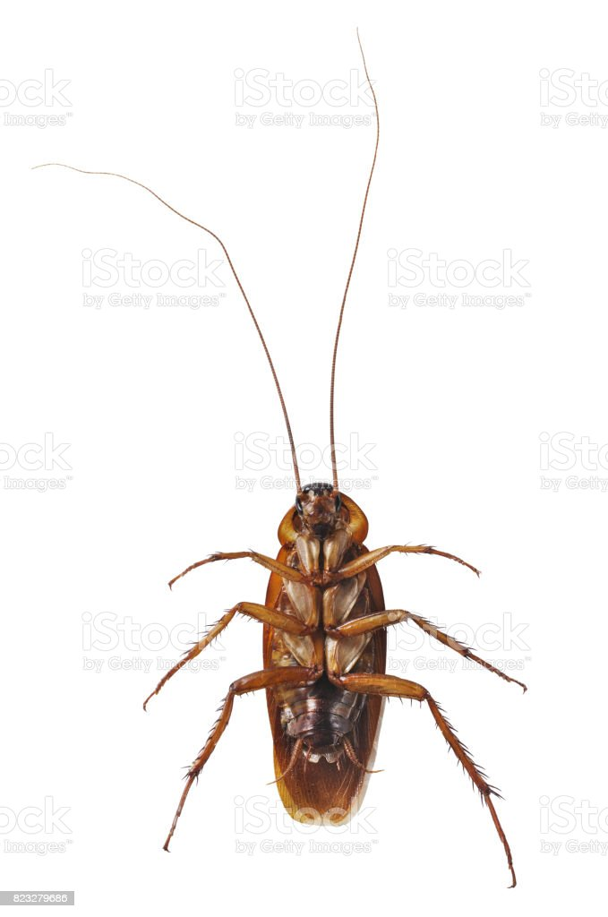 Close up cockroach isolated on white stock photo