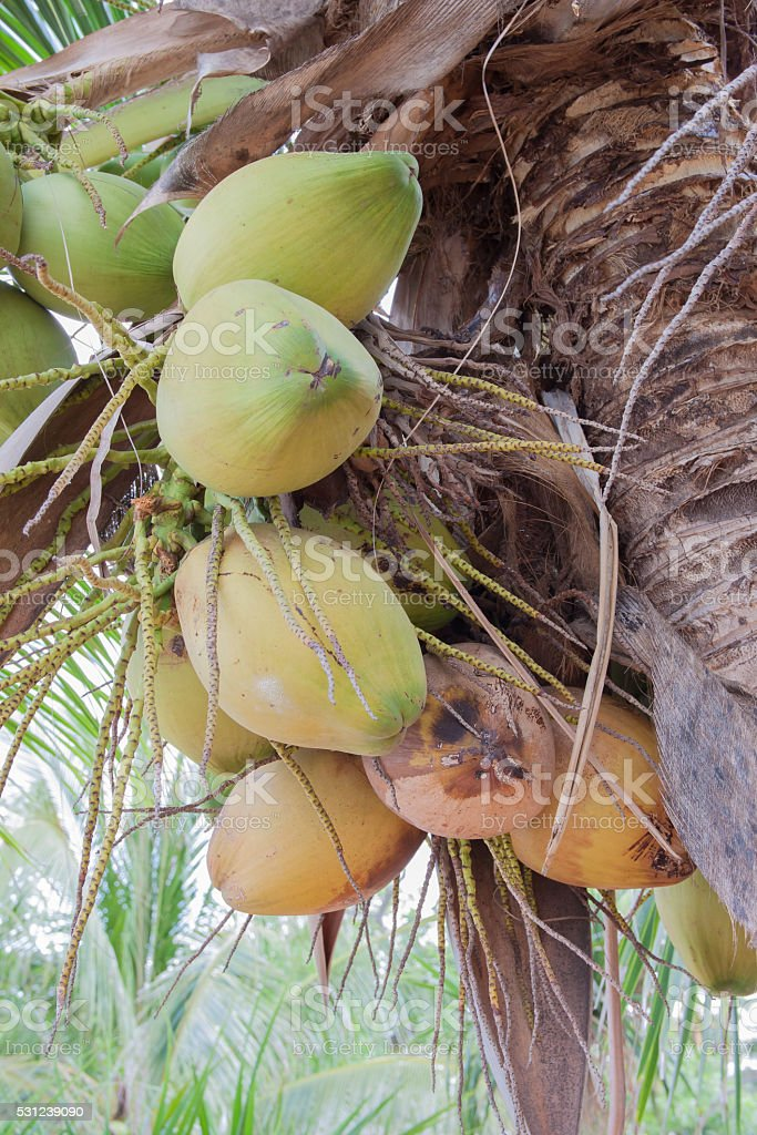 Close up coconut fruit on the tree royalty-free stock photo