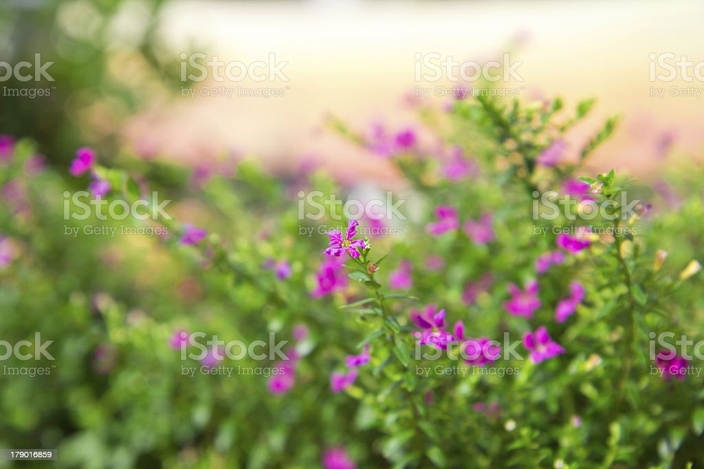 close up colorful False heather plant. royalty-free stock photo