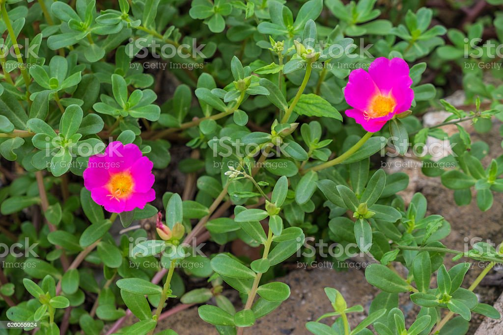 Close up colorful fresh pink portulaca flower in the garden stock photo