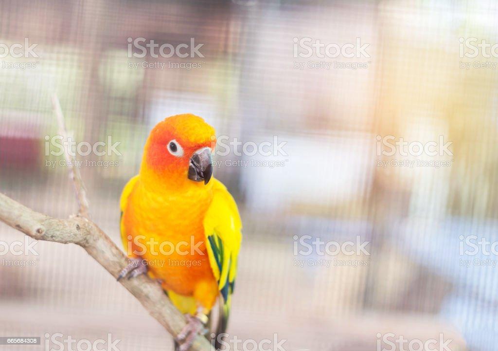 Close up colorful sun conure parrot birds (Aratinga solstitialis) stock photo