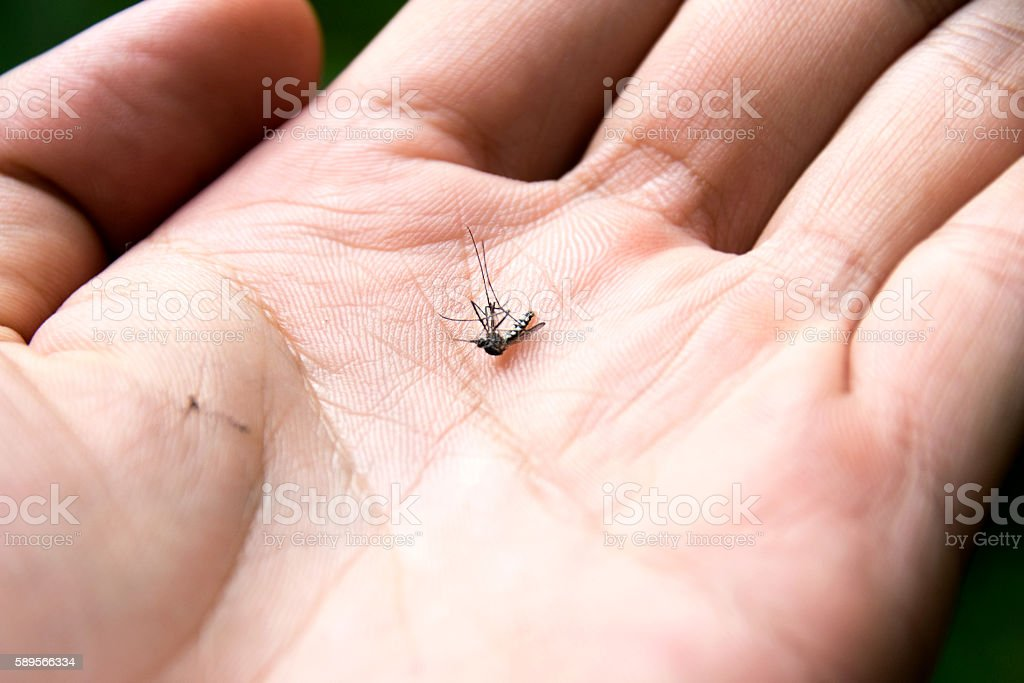 Close up common house mosquito dead in hand stock photo