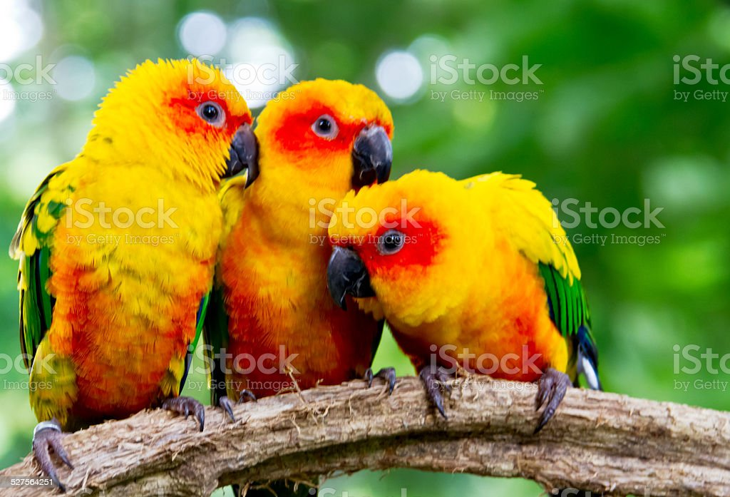 close up  conures parrots are sitting on a tree branch stock photo