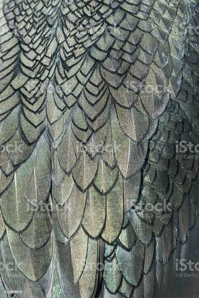 Close up detail of shag plumage stock photo
