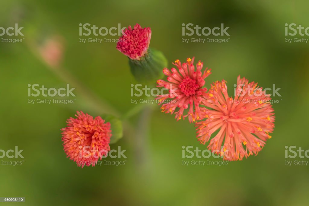 close up detail of small red flowers and their buds from above on a green background stock photo