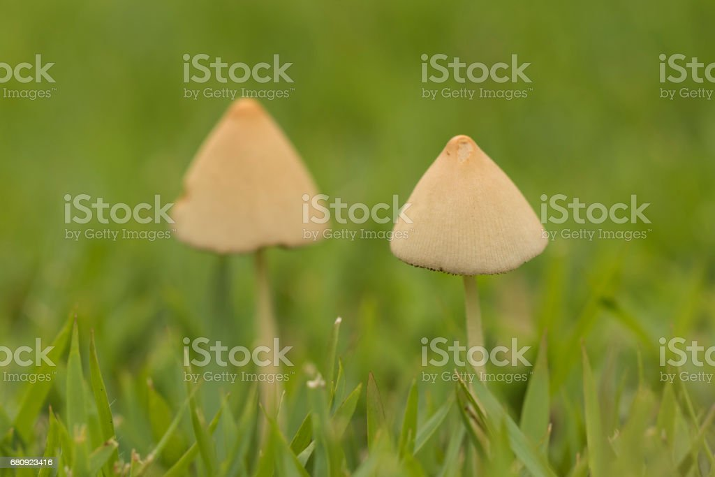 close up detail of two small white mushrooms on green grass stock photo